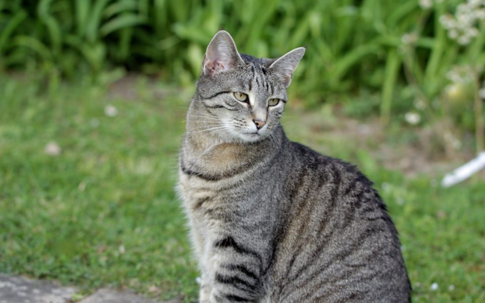 graugestreifte Katze